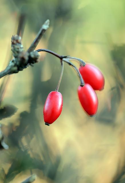 Baies de Berbéris : elles contiennent de la berbérine, un composé végétal complexe.