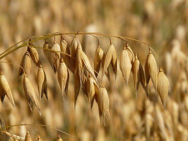 Grains d'avoine