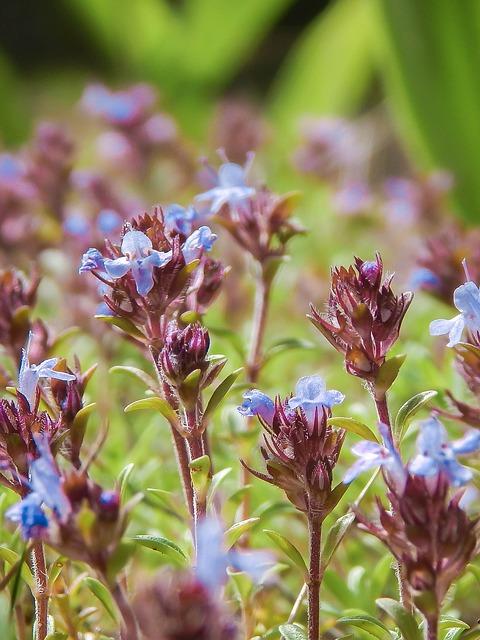 Thym fleuri: l'huile essentielle de Thym rouge dispose de nombreuses propriétés.