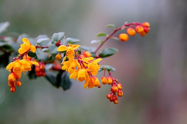 Fleurs de Berbéris : elles contiennent de la Berbérine.
