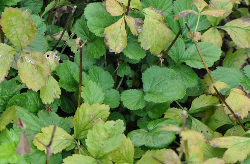 Benoîte : plante médicinale utilisée en phytothérapie.