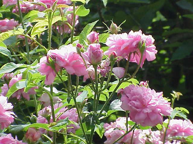 Roses de Damas : l'huile essentielle de rose de Damas est très appréciée.