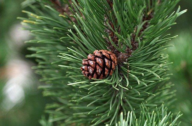 Pomme de pin : l'huile essentielle de térébenthine est extraite du pin des Landes.