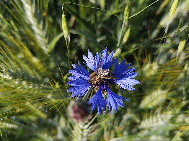 Bleuets : plante qui dispose de nombreuses propriétés.