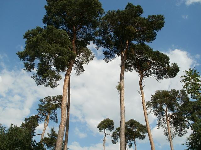 Pins de grande taille : Pine est également une fleur de Bach.