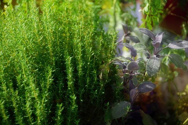Thym à paracymène: son huile essentielle dispose de nombreuses vertus.