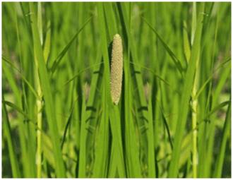L'acore est une plante utilisée en phytothérapie.