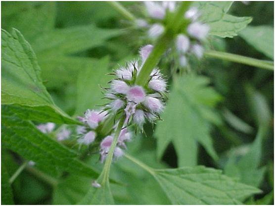 L'agripaume est une plante médicinale utilisée en phytothérapie.