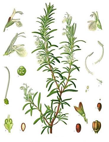 L'huile essentielle de romarin à cinéole est extraite de la plante Rosmarinus officinalis.