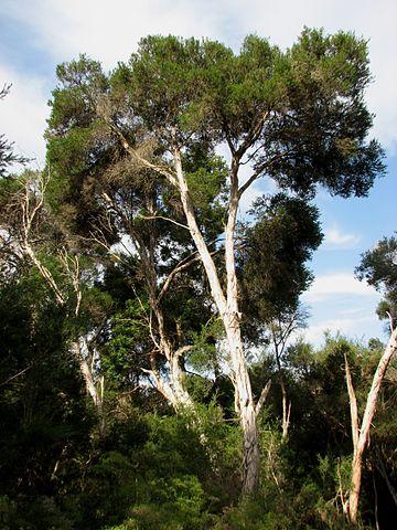 Arbre dont l'huile essentielle de Melaleuca ericifolia est extraite.