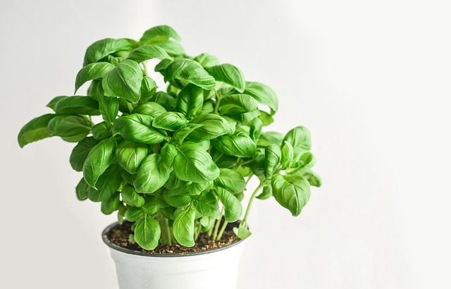 Feuilles de basilic: la plante peut être aussi utilisée en phytothérapie.