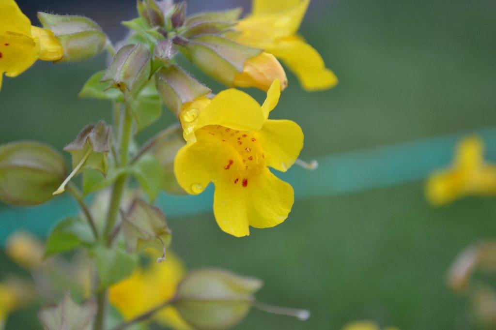 Mimulus, la Mimule, est une fleur de Bach.