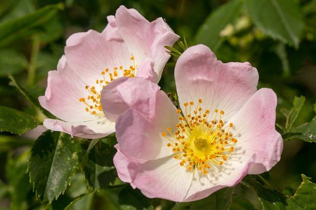 Wild Rose ou l'Églantier est une fleur de Bach.