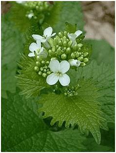 Alliaire : plante médicinale utilisée en phytothérapie.