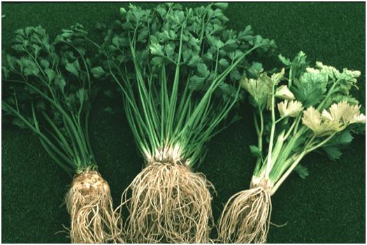 L'ache est une plante utilisée en phytothérapie.