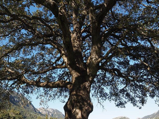 L'huile essentielle de Ravintsara est issue de l'arbre Cinnamomum Camphora.
