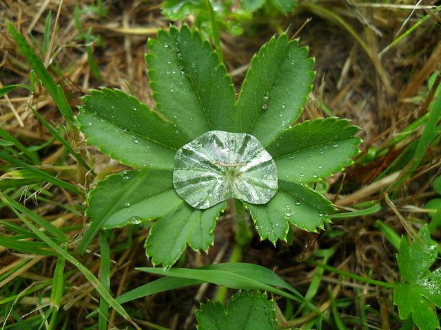 En phytothérapie, l'alchémille est une plante reconnue pour ses propriétés.