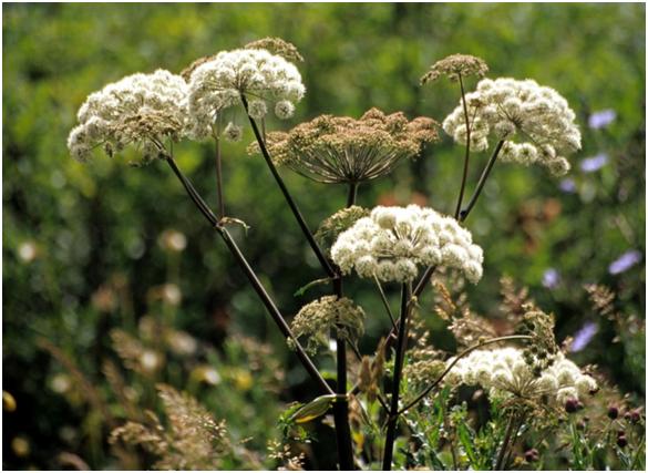 Angélique : cette plante médicinale est utilisée en phytothérapie.