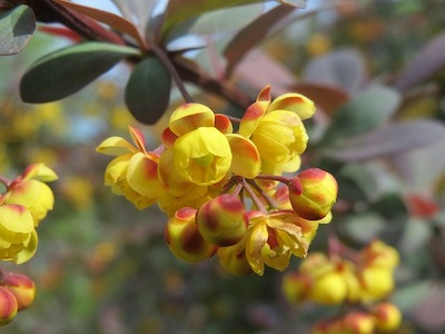 Berbéris en fleur, cette plante est une source de Berbérine, qui peut être associée au chrome.