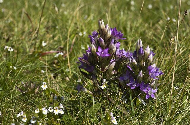 Gentian ou gentiane pourpre est une fleur de Bach.