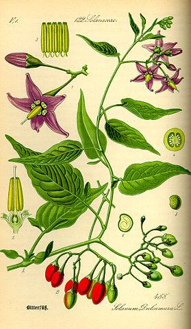 Douce-Amère : plante médicinale utilisée en phytothérapie.