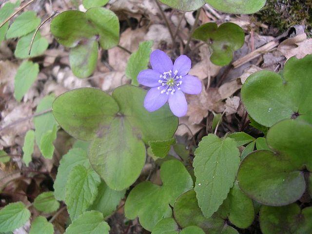 Anémone hépatique (Hepatica Nobilis) : plante utilisée en phytothérapie.