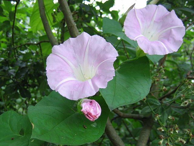 Liseron (Convolvulus Sepium) : plante médicinale utilisée en phytothérapie.
