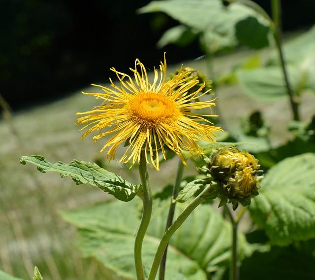 Aunée : plante utilisée en phytothérapie pour ses propriétés médicinales.