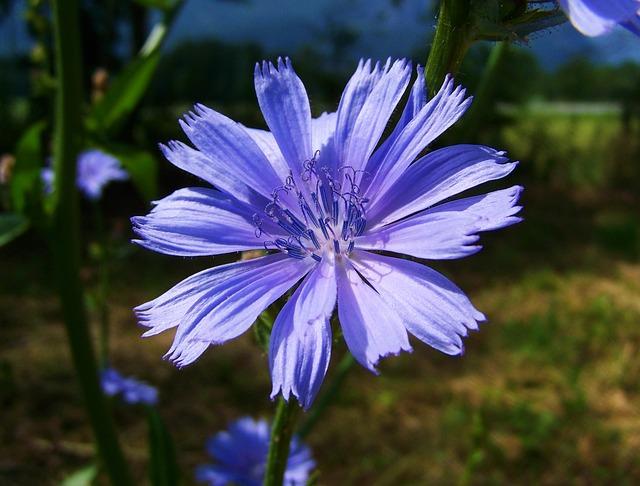 La Chicorée ou Chicory est une fleur de Bach.