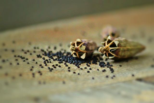 Pavot : dans l'alimentation, le phosphore est présent en abondance dans les graines.