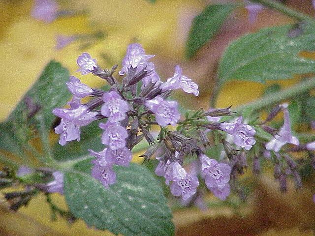 Calament : plante médicinale, utilisée en phytothérapie.