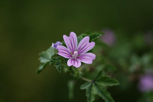 Mauve (Malva sylvestris) : plante médicinale qui présente de nombreuses propriétés.