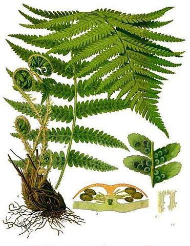 Fougère mâle ou Dryopteris filix-mas: plante utilisée en phytothérapie.