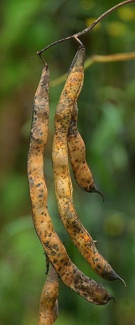 Haricot Commun (Phaseolus Vulgaris) : plante utilisée en phytothérapie.