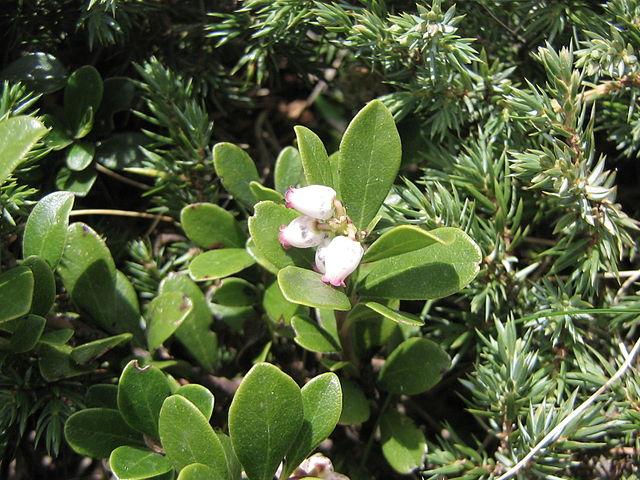 Busserole : arbuste utilisé en phytothérapie, pour ses nombreux bienfaits.