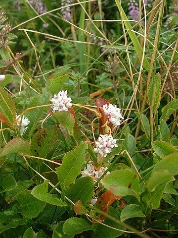 Cuscute ou Cuscuta Epithymum: plante qui dispose de nombreuses propriétés médicinales.