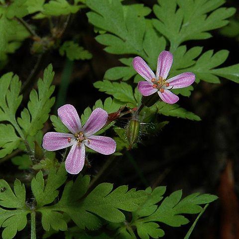 Géranium Herbe à Robert: plante médicinale disposant de nombreux bienfaits.