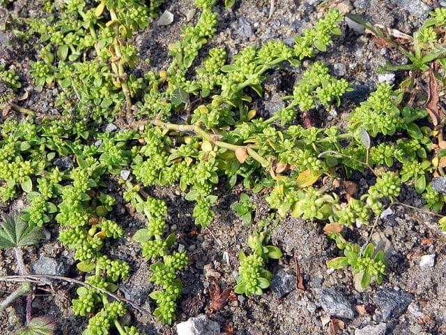 Herniaria Glabra : plante médicinale utilisée en phytothérapie.