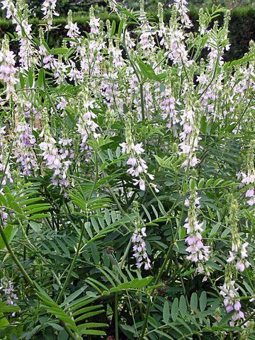 Galéga officinalis: plante qui dispose de nombreux bienfaits.