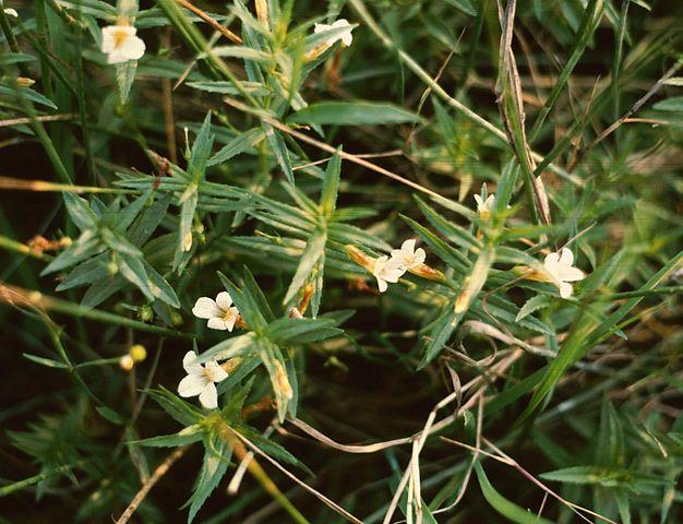 Gratiole ou Gratiola Officinalis: plante médicinale utilisée en phytothérapie.