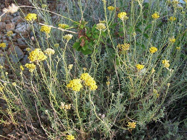 Immortelle des Sables (Helichrysum Arenarium): plante utilisée pour ses propriétés médicinales.