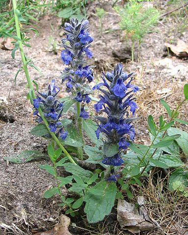 Bugle rampante ou Ajuga Reptans est une plante médicinale utilisée en phytothérapie.