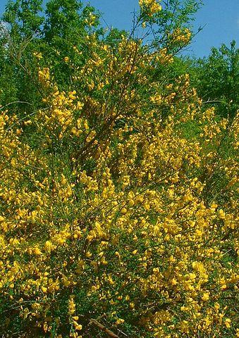 Genêt à balais : arbuste utilisé pour ses propriétés médicinales.