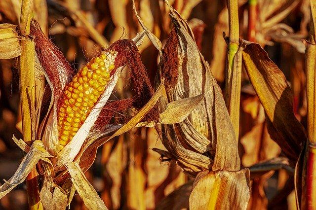 Maïs : céréale qui présente de nombreuses vertus thérapeutiques.
