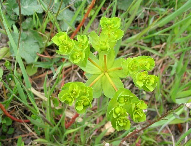 Euphorbe ou Euphorbia : plante toxique qui dispose néanmoins de propriétés médicinales.