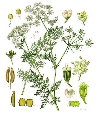 Carvi ou Carum Carvi : plante médicinale utilisée en phytothérapie.