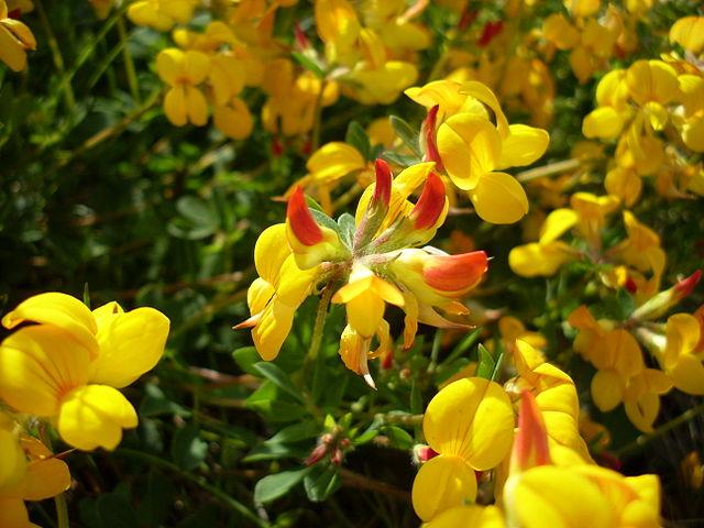 Lotier corniculé ou Lotus corniculatus : plante qui offre de nombreuses propriétés médicinales.