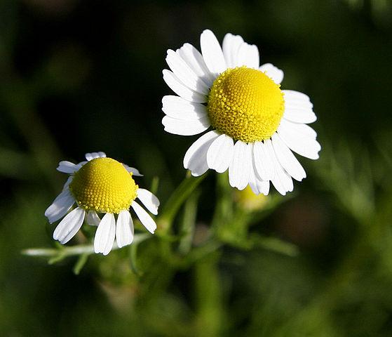 Camomille matricaire : plante qui dispose de nombreuses vertus et bienfaits.