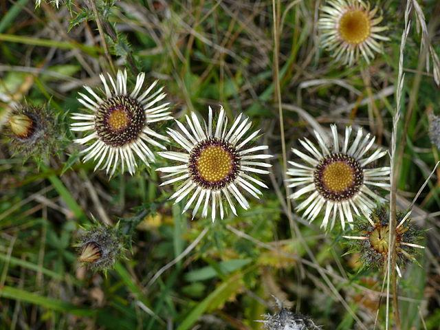 carline : plante médicinale utilisée en phytothérapie.