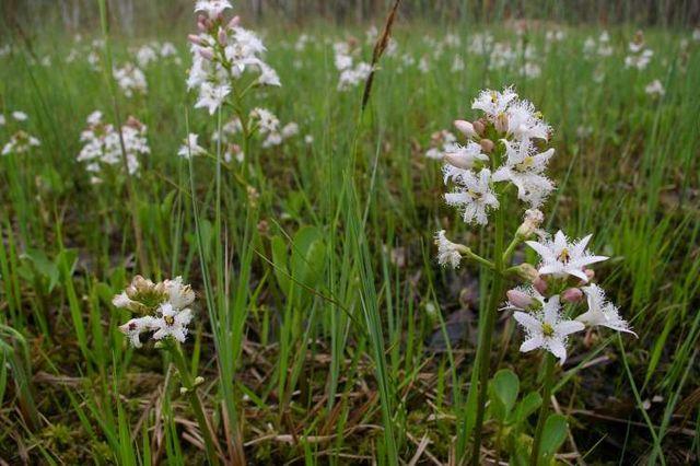 Ményanthe (Menyanthes trifoliata): plante qui présente de nombreuses propriétés médicinales.
